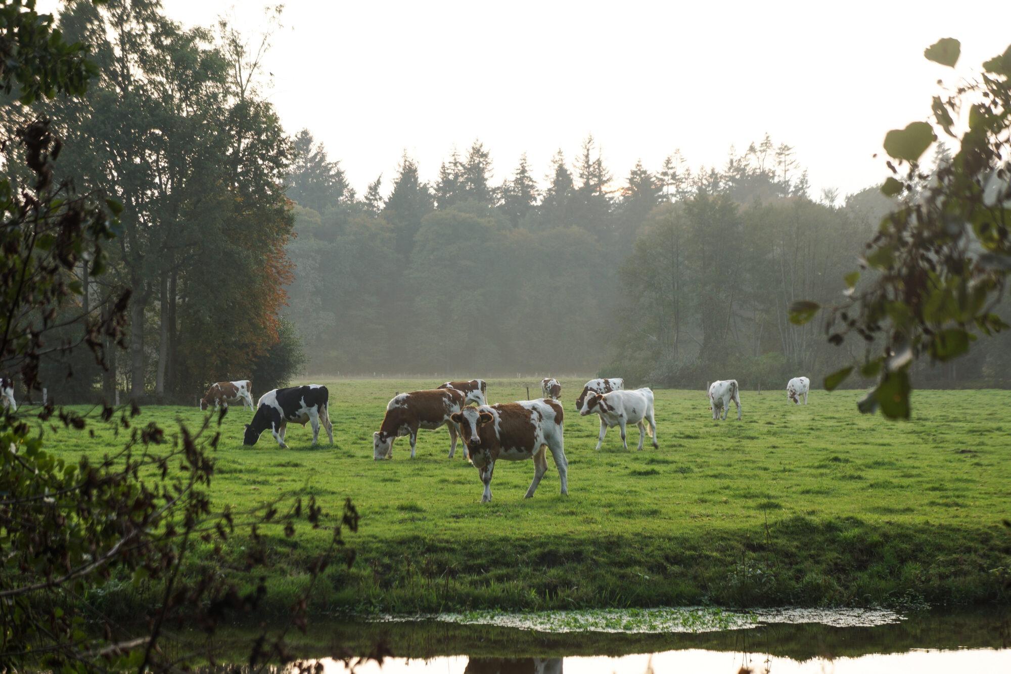 Koeien langs het Twentepad